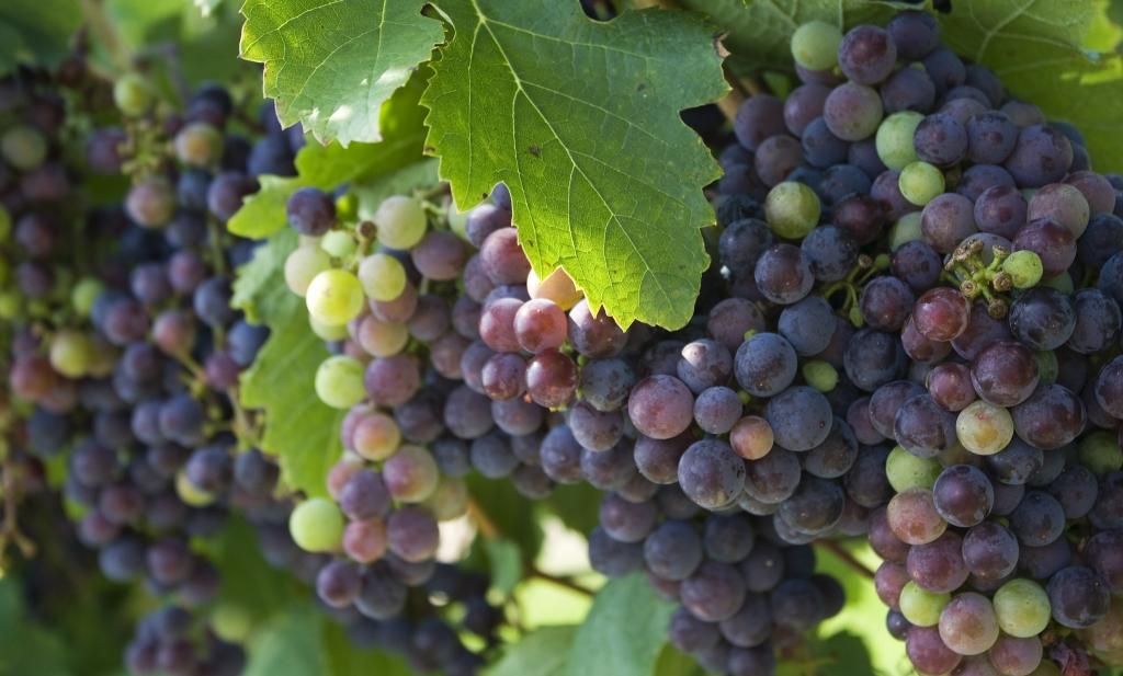 hoeveel druiven bevat een fles wijn en wat mag die kosten foodlog. Black Bedroom Furniture Sets. Home Design Ideas
